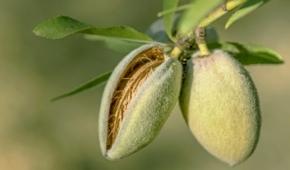 Миниатюра к статье Сладкий, полезный и урожайный сорт миндаля Виктория: описание и секреты выращивания