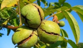Миниатюра к статье Нюансы плодоношения грецкого ореха: когда созревает урожай и как его собирать?